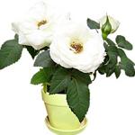 Mini-Rose Plant